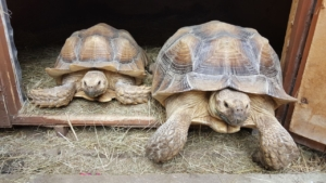 sulcata tortoises care sheet
