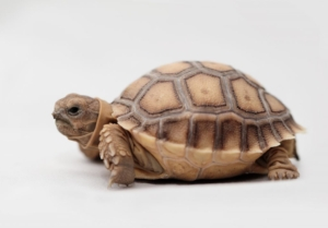 african spurred tortoise care sheet