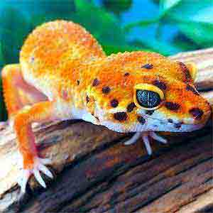 all geckos for sale