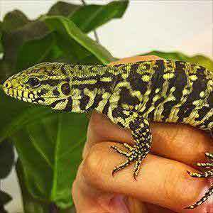 tegu's for sale