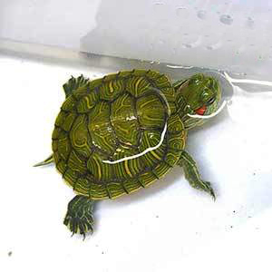 aquatic turtles for sale